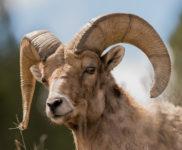 ram-horns